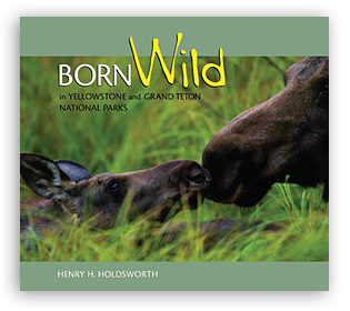 Born Wild in Yellowstone and Grand Teton National Parks align=